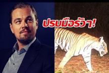 โพสต์สะเทือนโลก ลีโอนาร์โด ขอบคุณเจ้าหน้าที่ไทยอนุรักษ์เสืออย่างมีประสิทธิภาพ